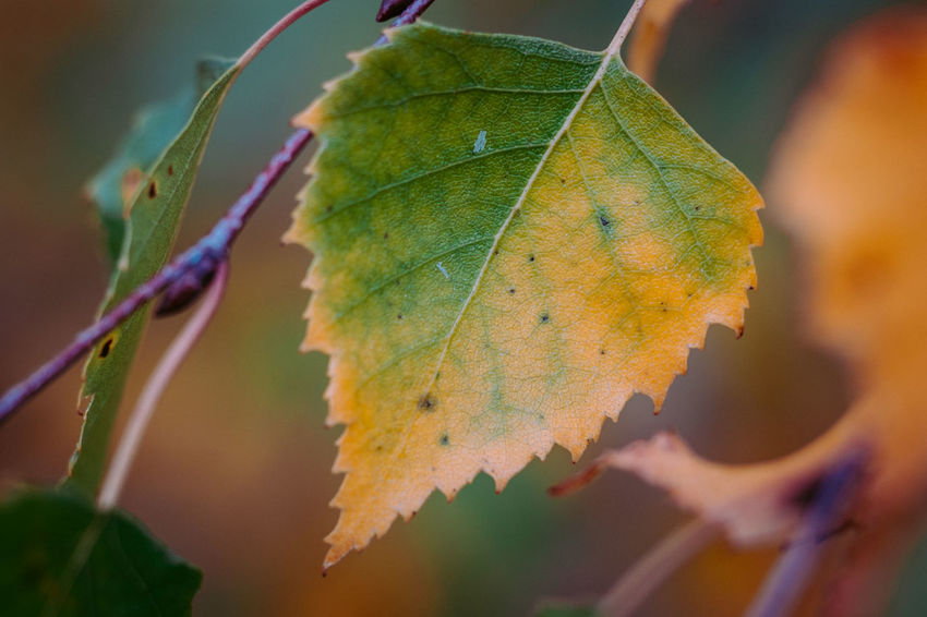 Autumn Beauty In Nature Change Close-up Day Growth Leaf Leaf Vein Maple Maple Leaf Nature No People Outdoors Tenebrio.photos Zeiss60mm