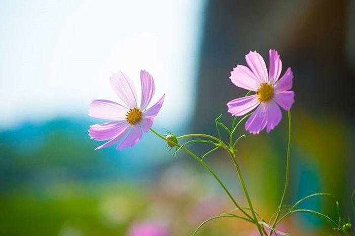 꽃 산책 코스모스 Flower Travel 일상 여행 풍경 사진 Photographer_suhyeon Nikond610 니콘D610
