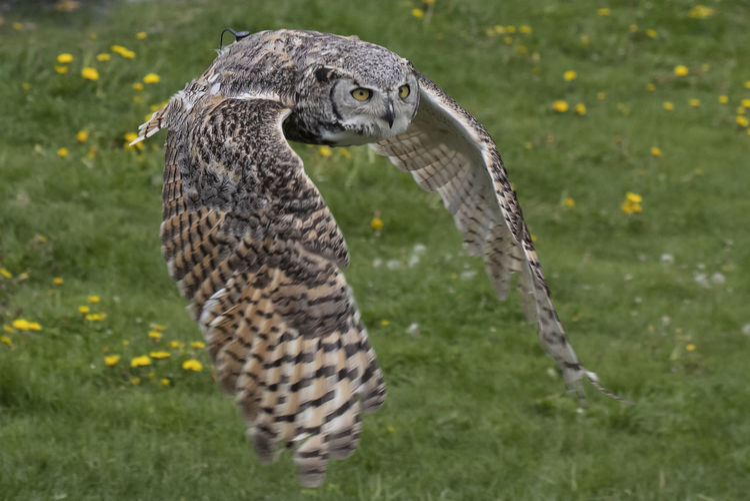 Great Horned Owl Great Horned Owl Bird Wildlife Vancouver British Columbia Canada Grouse Mountain Bird Bird Of Prey Owl Close-up Grass