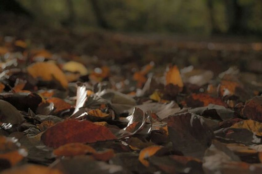 Crisp golden leaves Autumn Natural Beauty Outdoor Photography Relaxing Tree_collection  Check This Out Taking Photos Hanging Out Seasonal Beautiful Nature