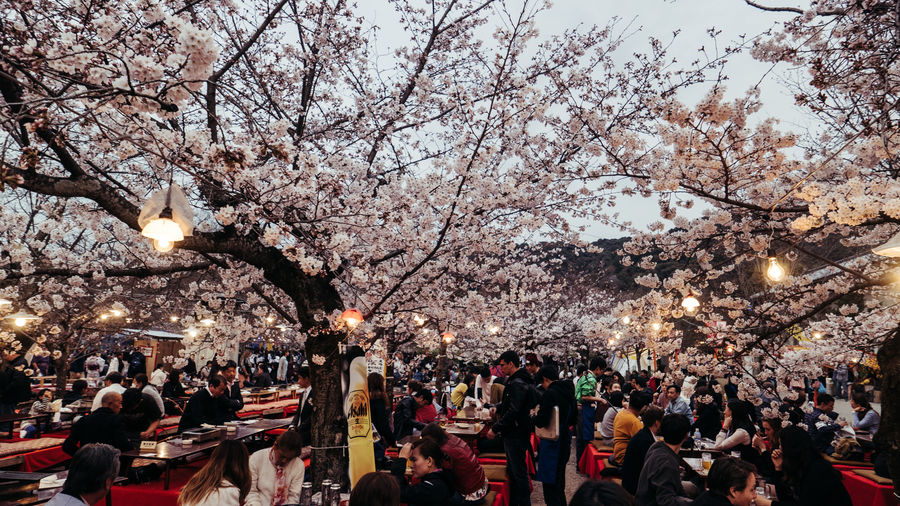 Blossom Branch Crowd Enjoyment Evening Festival Flower Hanami Illuminated Japan Japan Photography Large Group Of People Outdoors People Real People Sakura Togetherness Tree