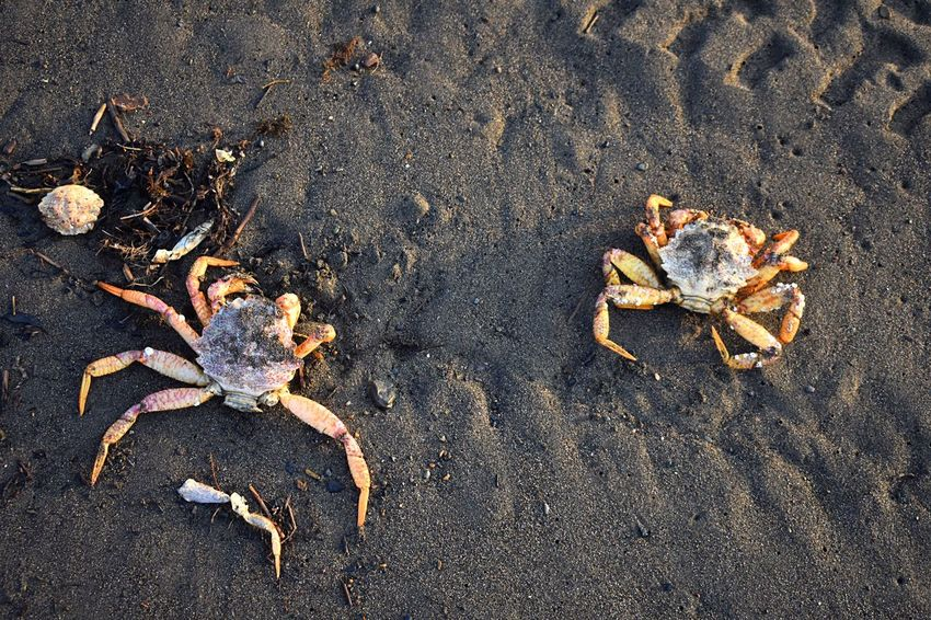 Dead, washed up crabs EyeEm Selects High Angle View No People Sand Nature Beach Animal Animal Themes Day Land Directly Above Textured  Wet Pattern Animal Wildlife Outdoors Close-up