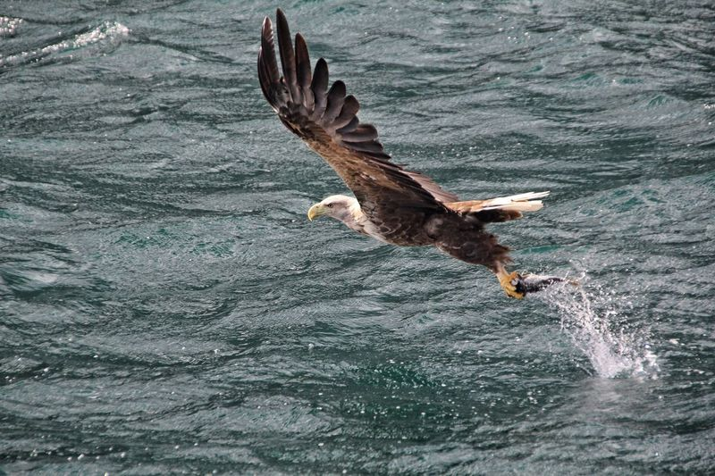 Eagle with prey flying over sea