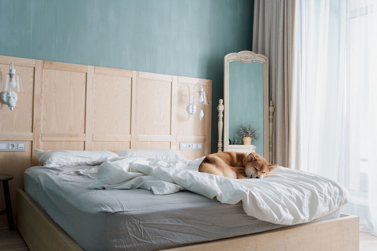 Funny sly shiba inu dog sleeps on the bed of his owners while they are away. pets acting like human