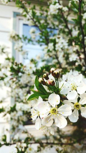 Blossom Cherry Tree Springtime Flower Cherry Blossoms Light Mood  Nature Stillife Photography Natureshots