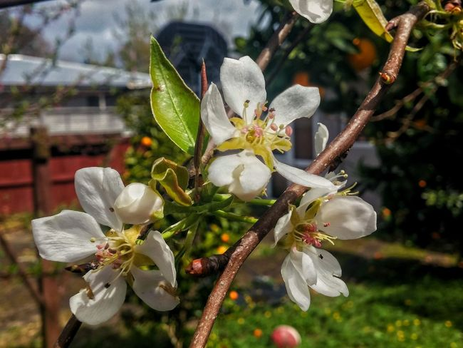 😍🍐Pear blossoms, on my tree🍐😃 Women Who Inspire You Food Photography Flower Petal Close-up Springtime Focus On Foreground Pear Blossom Pear Tree  Pear Tree In Blossom Blossom Beauty In Nature In Bloom Flower Head Bud Branch Nature Botany Freshness Green Color Hamilton, New Zealand Have A Nice Day♥ Spring In New Zealand Lush Foliage Indulgence