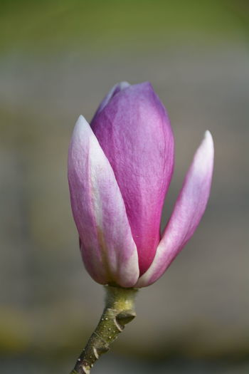 Close-Up Of Pink Magnolia Outdoors
