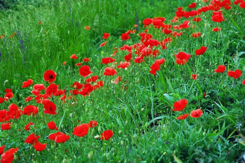 Papaveri Fiori Hello World Taking Photos Colors Nikonphotography Photos Flowers