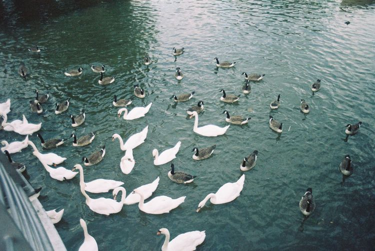 Swans and Ducks Water Large Group Of Animals Animal Wildlife Group Of Animals Animal Animals In The Wild Animal Themes Swimming Vertebrate High Angle View Lake Nature No People Beauty In Nature Day Bird Waterfront Outdoors Flock Of Birds Floating On Water School Of Fish Marine
