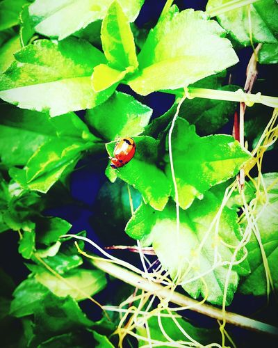 Leaf Nature Plant Insect Animal Themes Close-up Green Color Growth Beauty In Nature Outdoors No People Animals In The Wild One Animal Day Fragility Freshness a bug on leaf
