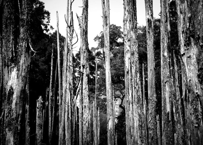 life Beauty In Nature Blackandwhite Close-up Day EyeEm Best Shots EyeEm Nature Lover Forest Photography Forst Low Angle View Mist Nature No People Outdoors Sky Tree Tree Trunk