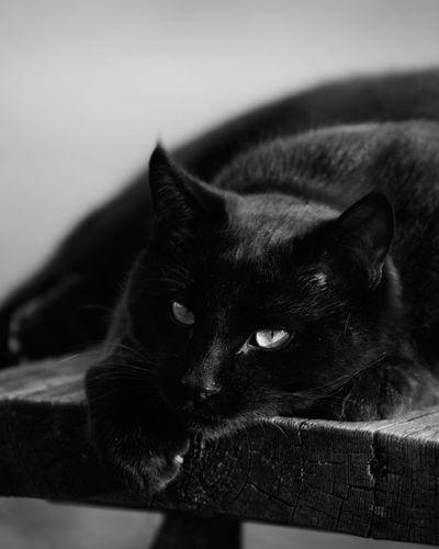 Close-up portrait of black cat