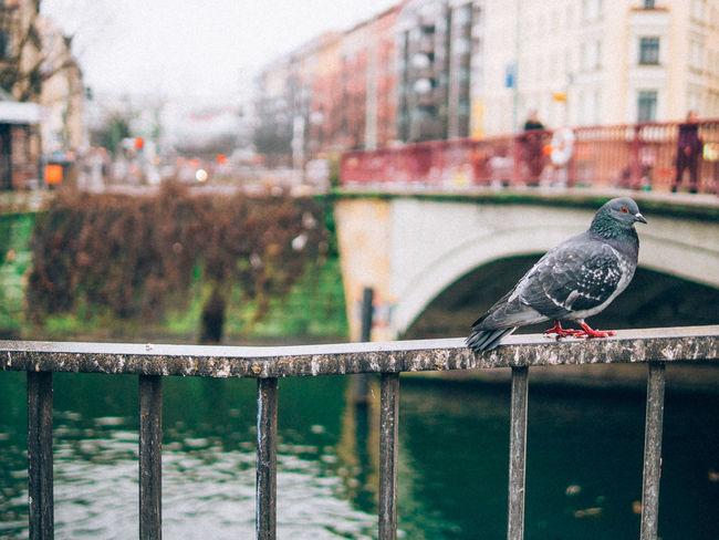 Quality dove hanging around in Berlin Dove Nature Urban Bridge Berlin Bird Photography Bird Portait Love Bird Cool Nice