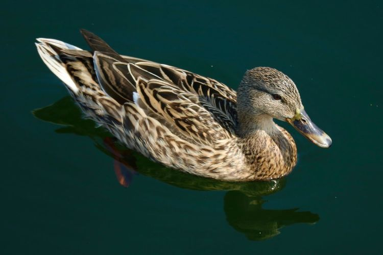 High Angle View Of Duck Floating On Water