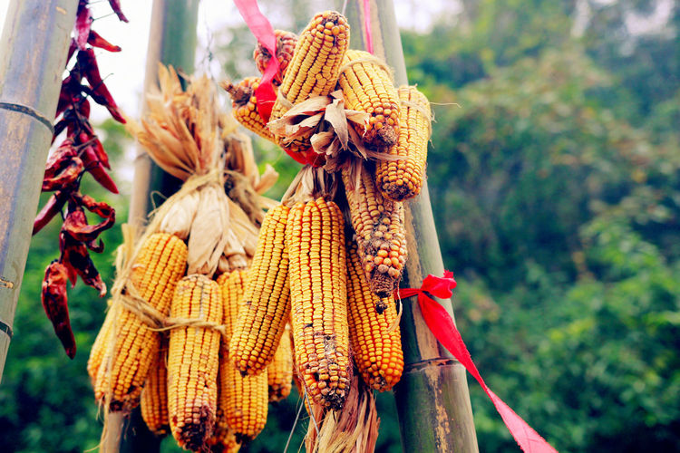 Sweetcorns hanging at market for sale