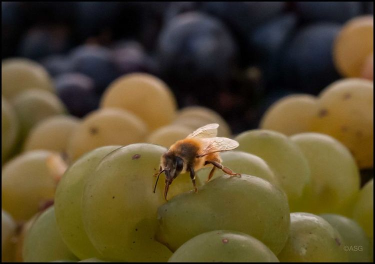 DT _ SweetBee on Grapes - 10/21/17 Art Is Everywhere EyeEm Macro Collection Lost In The Landscape My Unique Style The Journey Is The Destination The Purist (no Edit, No Filter) Animals In The Wild Beauty In Nature Concord Grapes Malephotographerofthemonth