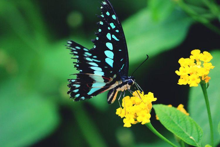 Close-Up Of Butterfly On Yellow Lantana Camara