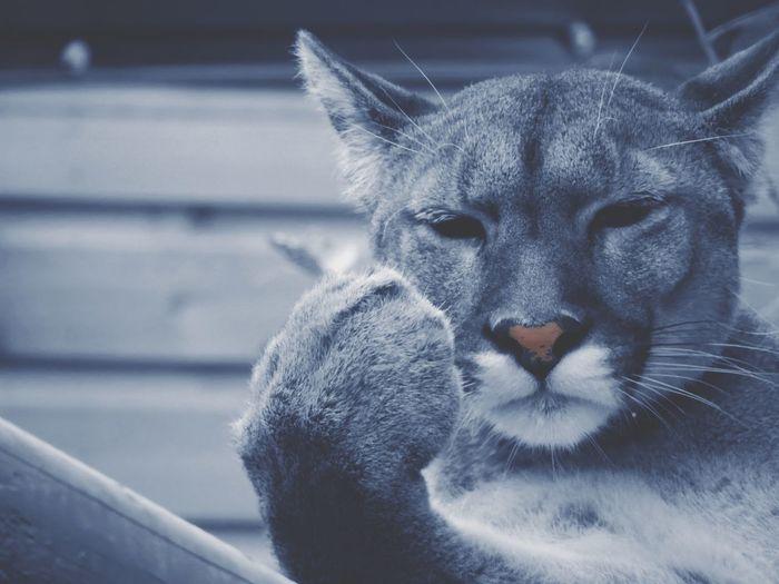 Puma Big Cat Shades Of Grey Heart Nose Paw Gesture Puma Animal Themes One Animal Mammal Wildlife No People Animal Wildlife Feline