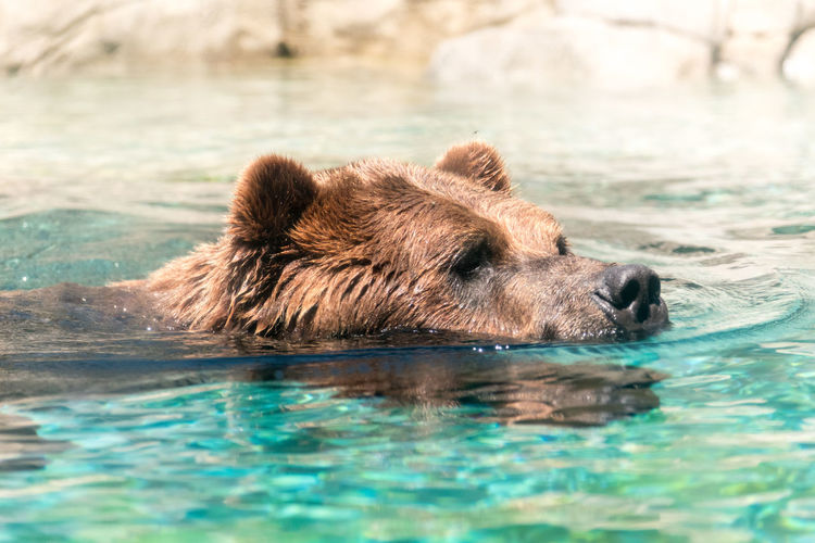 Grizzly bear swimming in pond at zoo