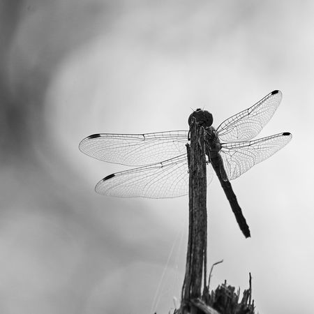 Dragonfly Beauty In Nature Blackandwhite Close-up Dragonfly Focus On Foreground Insect Nature No People Outdoors