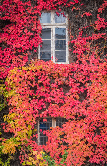 Red ivy on house with white window Architecture Built Structure Plant Building Exterior Building Flower Flowering Plant Growth Window Nature House Change No People Autumn Freshness Day Red Beauty In Nature Ivy Outdoors
