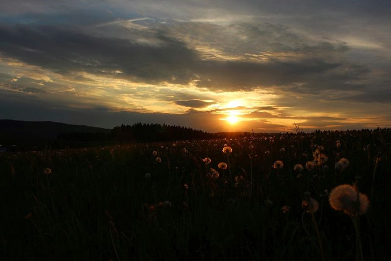 Sunset Field Nature Dramatic Sky Atmospheric Mood Plant Cloud - Sky Landscape Gold Colored Beauty In Nature Sun Sunlight Hill Growth Flower Dandelion Dandelionsunshine The Great Outdoors - 2017 EyeEm Awards The Photojournalist - 2017 EyeEm Awards Neighborhood Map Germany Traveling Canon 700D Adventure No Filter, No Edit, Just Photography BYOPaper! Live For The Story