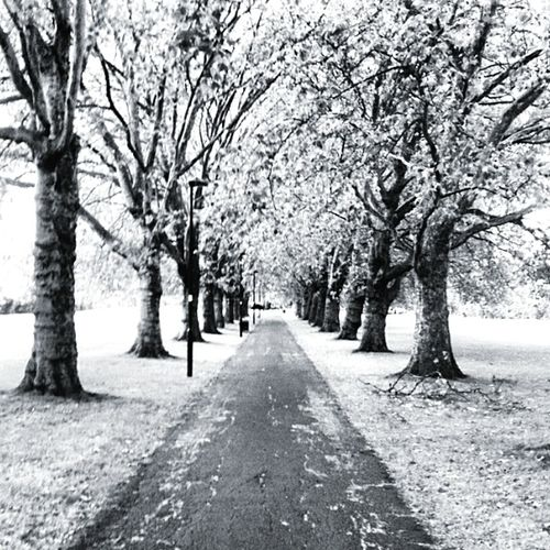 Winter Wonderland Winterscapes Winter Trees A Walk In The Park Tree Lined Black & White Snow