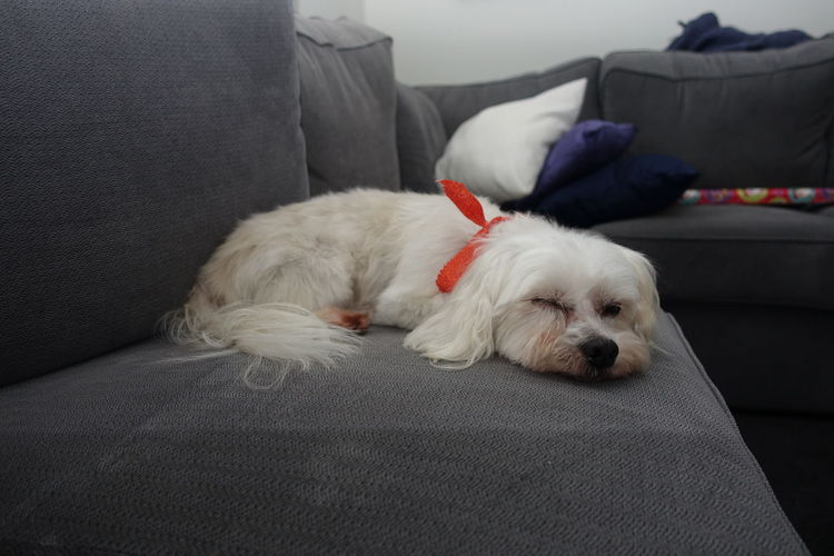 Close-up of maltese resting on sofa