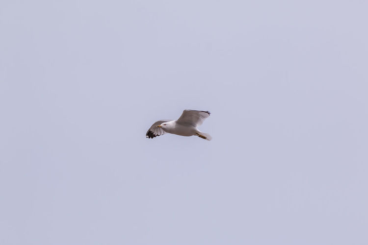 Animal Themes Animal Wildlife Animals In The Wild Bird Day Flying Bird Flying High Looking Up Nature No People One Animal Outdoors Ring-billed Seagull Seagull Seagull ın Flıght Seagulls Seagulls In Flight The Week On EyeEm Wildlife Wildlife Photography Perspectives On Nature