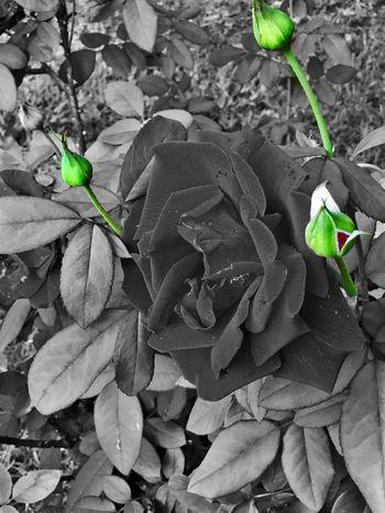 Buds And Rose Color-splash Plant Nature Flower Petal Creative Flowers LPhoneography Colorsplash Rose - Flower Eye Em Nature Lover