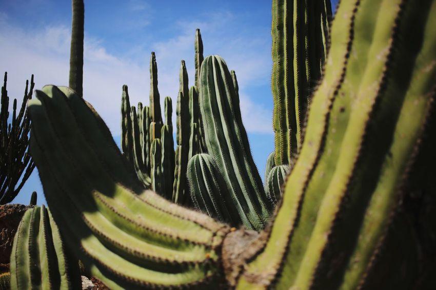 Desert Cactus Succulent Plant Growth Plant Green Color Nature No People