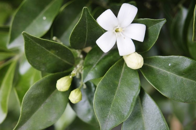 white flower Leaf Green Color Beauty In Nature No People Freshness Flower Head Outdoors