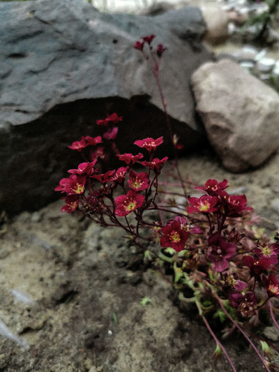 Close-up of pink flowers on rock