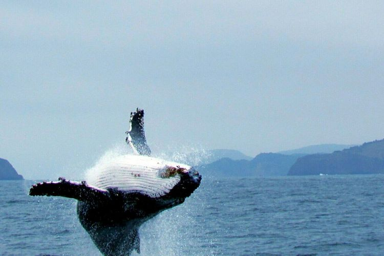 After several minutes and attempts ... wualaaa Whale Watching Capturing Freedom My Favorite Photo Avistamiento De Ballenas Taking Photos All You Need Is Ecuador Capture The Moment Nature_collection Animal Photography Whales The Great Outdoors With Adobe Nature's Diversities