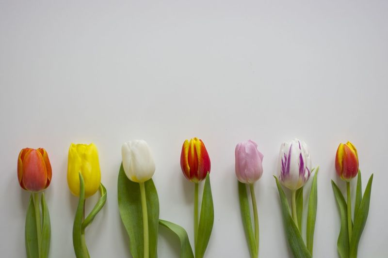assortment of tulips ... spring is coming soon ... hopefully ... Beauty In Nature Close-up Colorful EyeEm Nature Lover Flower Flower Collection Flower Head Fragility Freshness In A Row Minimal Minimalism Minimalobsession Nature No People Simplicity Spring Flowers Springtime Studio Shot Tulip White Background EyeEm Diversity