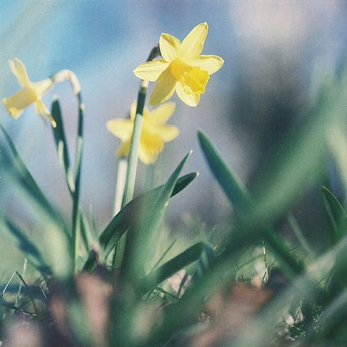 Narcis.flower.na