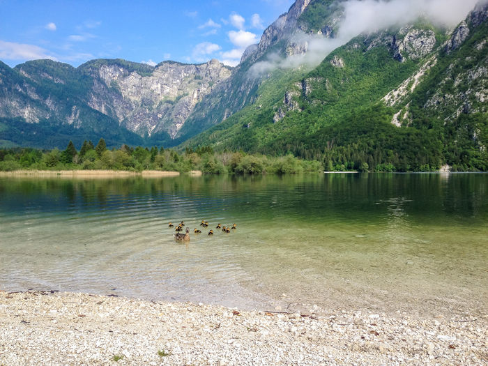 Duck With Ducklings Swimming In Lake By Mountains