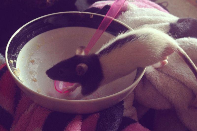Furbaby Pets Oogieboogie Rat My Baby Oatmeal Love Happiness
