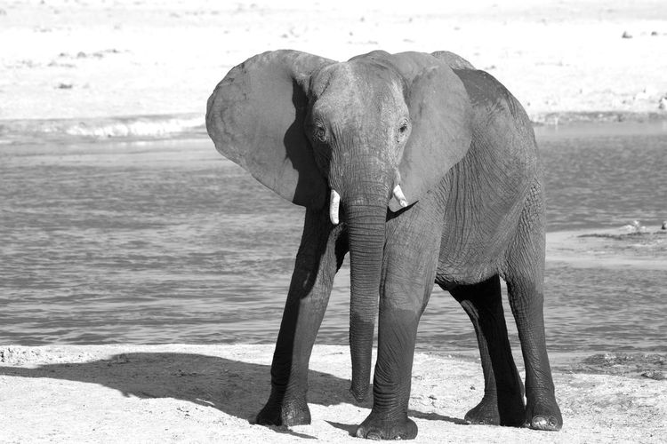 Animal Wildlife Animal Animals In The Wild Animal Themes Mammal Nature No People Day Elephant Water One Animal Standing Animal Trunk Safari Outdoors Big Five Wildlife Photography Animals In The Wild