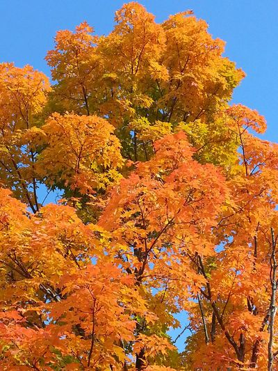 Fall Colors An Azure Blue Sky Bright_and_bold EyeEm Nature Lover Orangetree in Scotchtown, NY I Love Fall