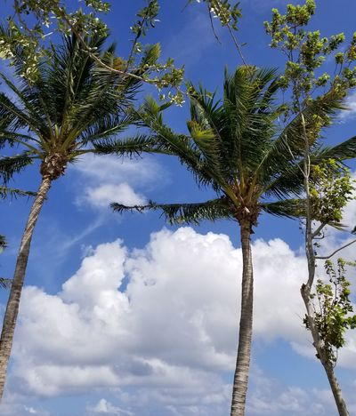 On my Trip to Florida . Taking Pictures of my surroundings. Palm Tree Palmtrees Tree BlueRelax. Nature Cloud - Sky Outdoors Beauty In Nature Branch Beautiful View Beautidul Day Clouds Green Trees Green Delray Beach The Great Outdoors - 2017 EyeEm Awards