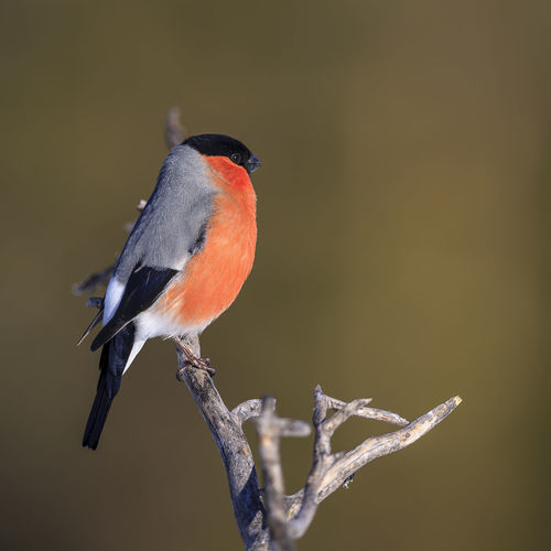 A winter portrait of a male bullfinch in northern Sweden. Sweden Animal Animal Themes Animal Wildlife Animals In The Wild Beauty In Nature Bird Branch Bullfinch Close-up Copy Space Day Focus On Foreground Nature No People One Animal Outdoors Perching Plant Tree Twig Vertebrate