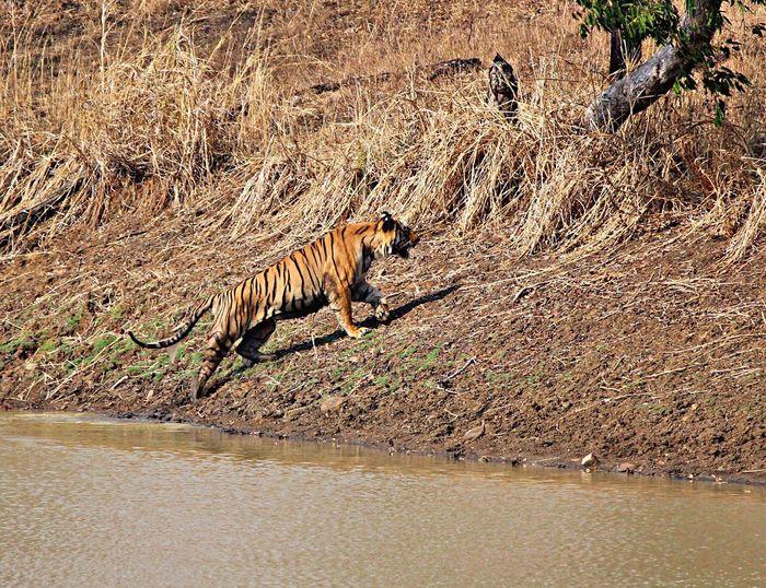 #day #Tiger Nature Safari Animals No People