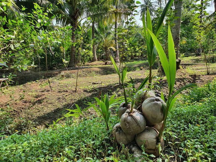 coconut sapling