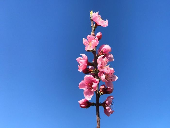 Peach flower Flowering Plant Flower Plant Pink Color Vulnerability  Beauty In Nature Growth Fragility Nature Low Angle View Blue Freshness Sky Clear Sky Tree No People Blossom Petal Day Springtime
