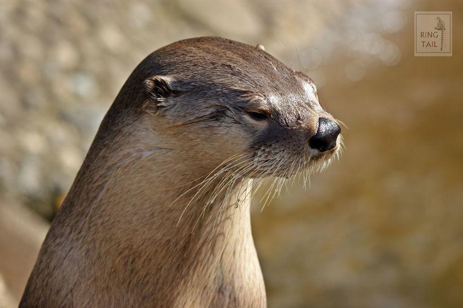 Animal Head  British Wildlife Mammal One Animal Otter Otters Wildlife & Nature Wildlife Photography