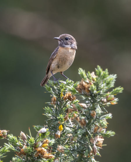 Stonechat on Gorse Gorse Animal Animal Themes Animal Wildlife Animals In The Wild Beauty In Nature Bird Close-up Day Female Flower Flowering Plant Focus On Foreground Growth Nature No People One Animal Outdoors Perching Plant Selective Focus Stonechat Vertebrate