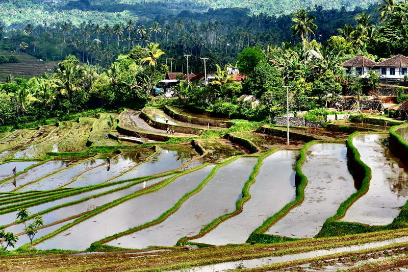 Ricefields ,