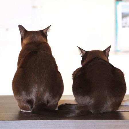 Animal Themes Burmese Cat Domestic Animals Domestic Cat Feline Indoors  Pets Sitting Togetherness Two Cats
