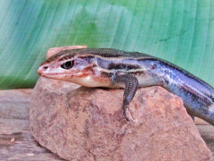 relaxing Lizard
